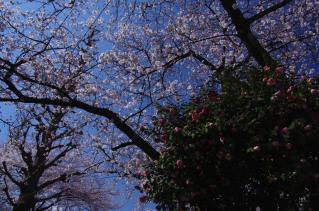 バラと桜との共演