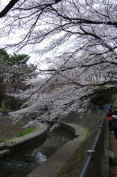 善福寺川緑地公園からの桜並木