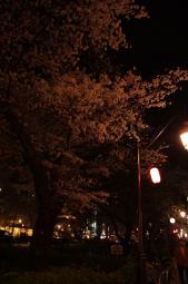 夜桜にはちょっと光が足りない