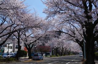 桜通りも満開です