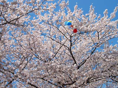 20120407syorijousakura27m.jpg