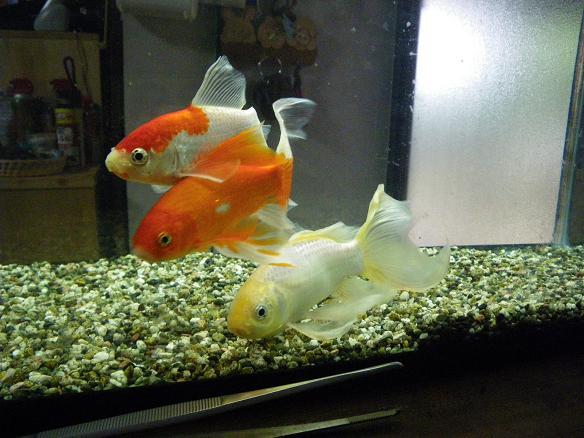 05.24金魚1