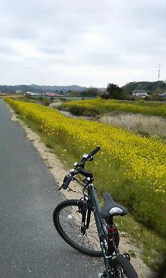 堤防の菜の花畑