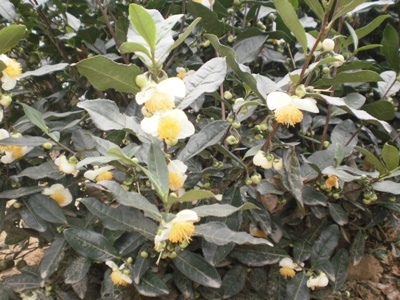 龍井茶の花