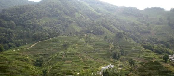 獅峰茶園2