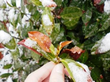 凍死した新芽