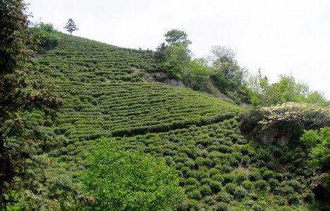 六安瓜片茶園