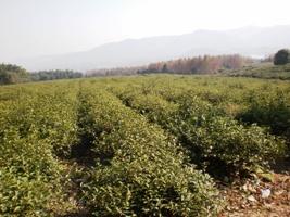 12期茶芸師ツアー 宜興紅茶茶園