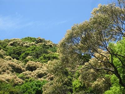 ブナ科シイの木