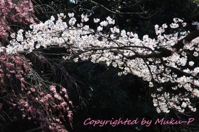 IMG_4390_sakura.jpg