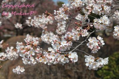 IMG_4392_sakura.jpg