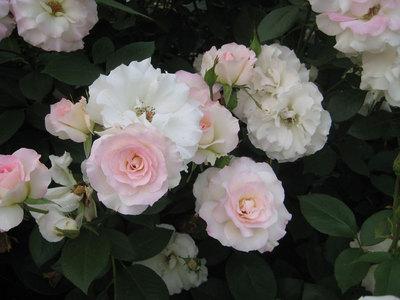 ぼかしのバラ