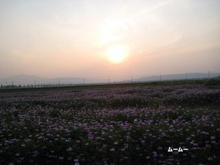 蓮華と夕陽