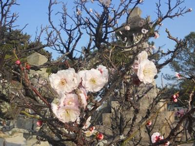 浜宮天神社の梅