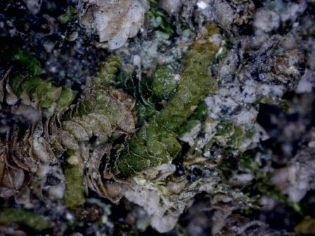 Trocholejeunnea sandvicensis