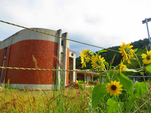 石巻市 大川小学校前 向日葵 (2013年9月,遠藤夕幻・撮影)