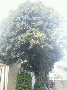 DSC_0056 大樹 きんもくせい