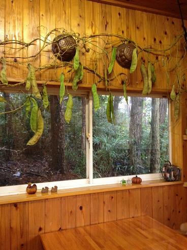 大きな豆の木?