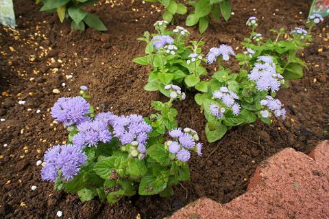 青いお花20110617