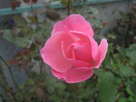 tnH26-10-15薔薇 (2)