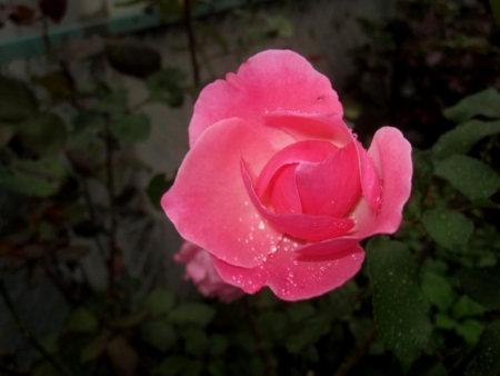 tnH26-10-15薔薇 (3)
