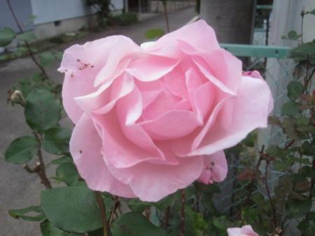 tnH26-11-06ピンクのバラ (1)