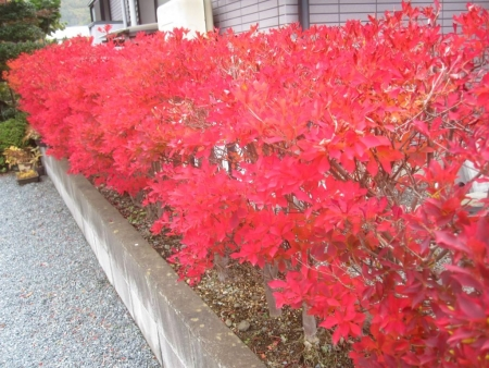 tnH26-11-06紅葉したドウダン (1)