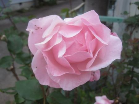 tnH26-11-06ピンクのバラ (2)