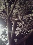 円山公園お花見④