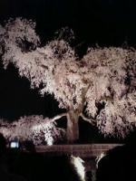 円山公園お花見①