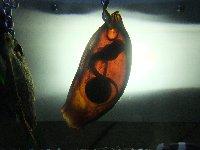 20110911サメの卵
