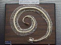 20120728ガラガラヘビ