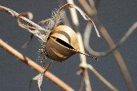 20121013アサガオの種2
