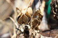 20121013アサガオの種