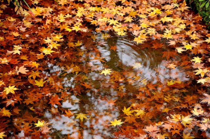 池に落ちた紅葉の葉_