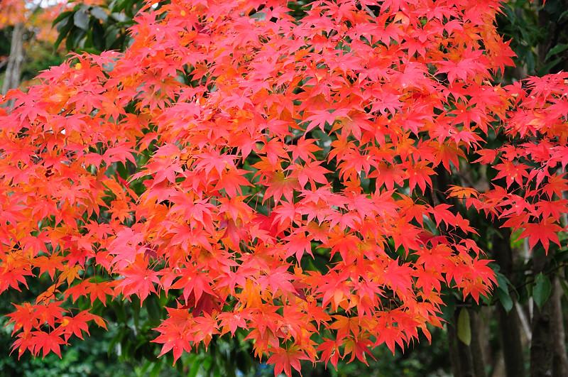 庭園紅葉9_