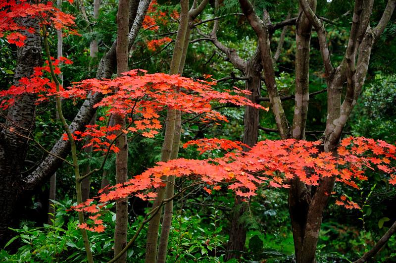 庭園紅葉2_