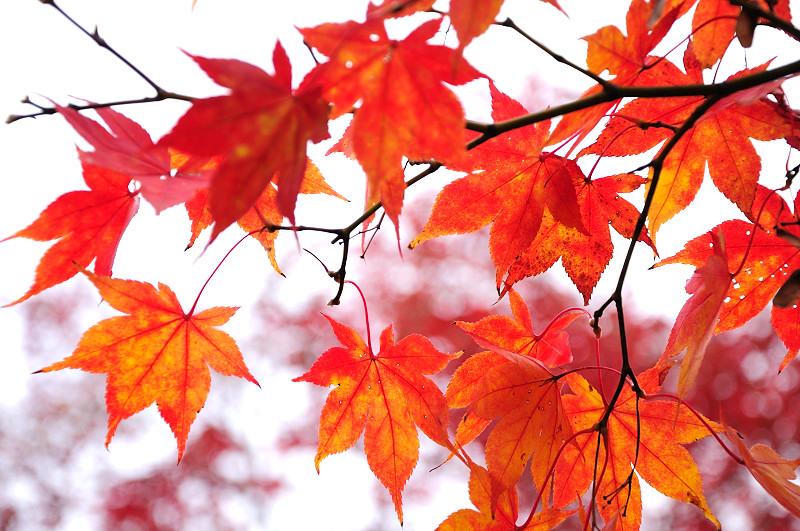庭園紅葉8_
