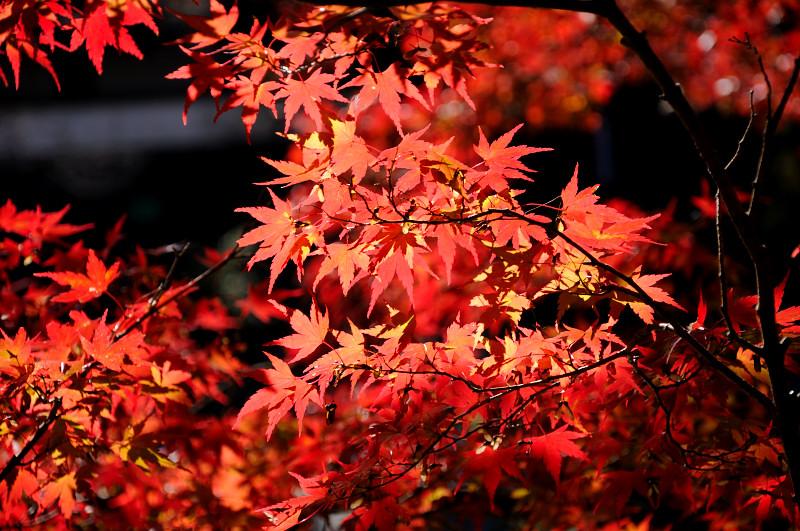 浮かび上がる紅葉_