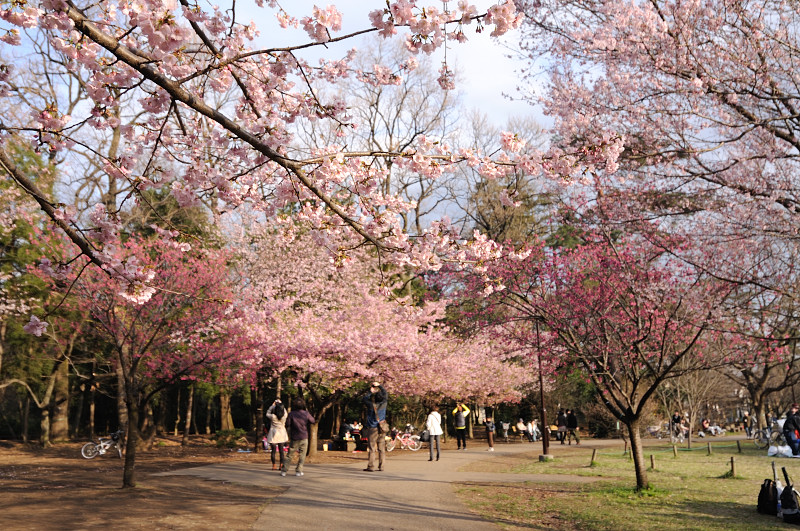 早咲き桜の咲く広場_