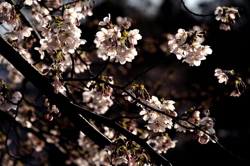 井の頭桜4_
