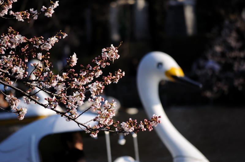 井の頭桜3_