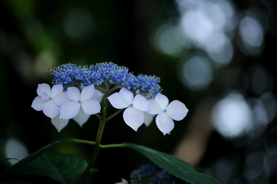 紫陽花4_