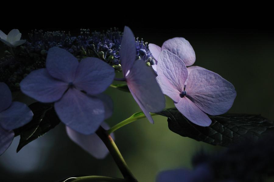 紫陽花3_