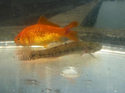 金魚 ハゼ