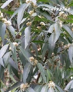 eucalytus.jpg