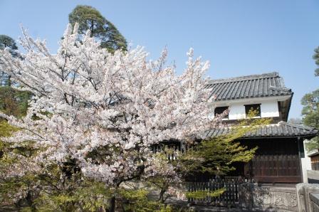 美観地区の桜