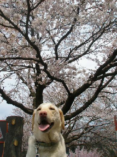 お花見2011-1