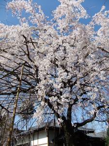 蓮田市慶福寺枝垂れ桜