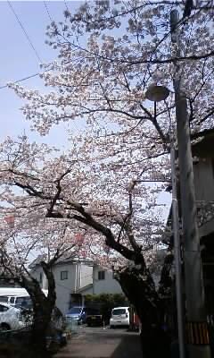 信貴山 桜1